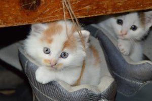 Mačky v topánkach